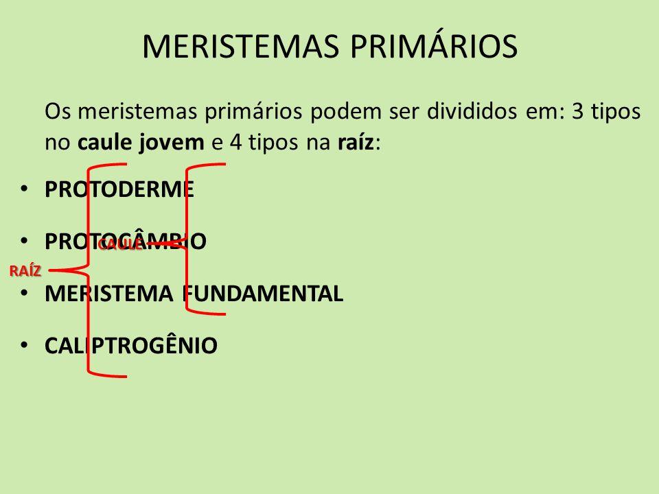 MERISTEMAS PRIMÁRIOS Os meristemas primários podem ser divididos em: 3 tipos no caule jovem e 4 tipos na raíz: