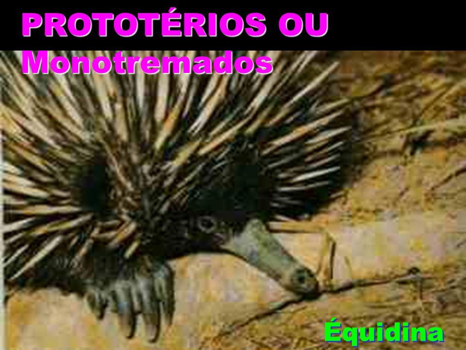 PROTOTÉRIOS OU Monotremados