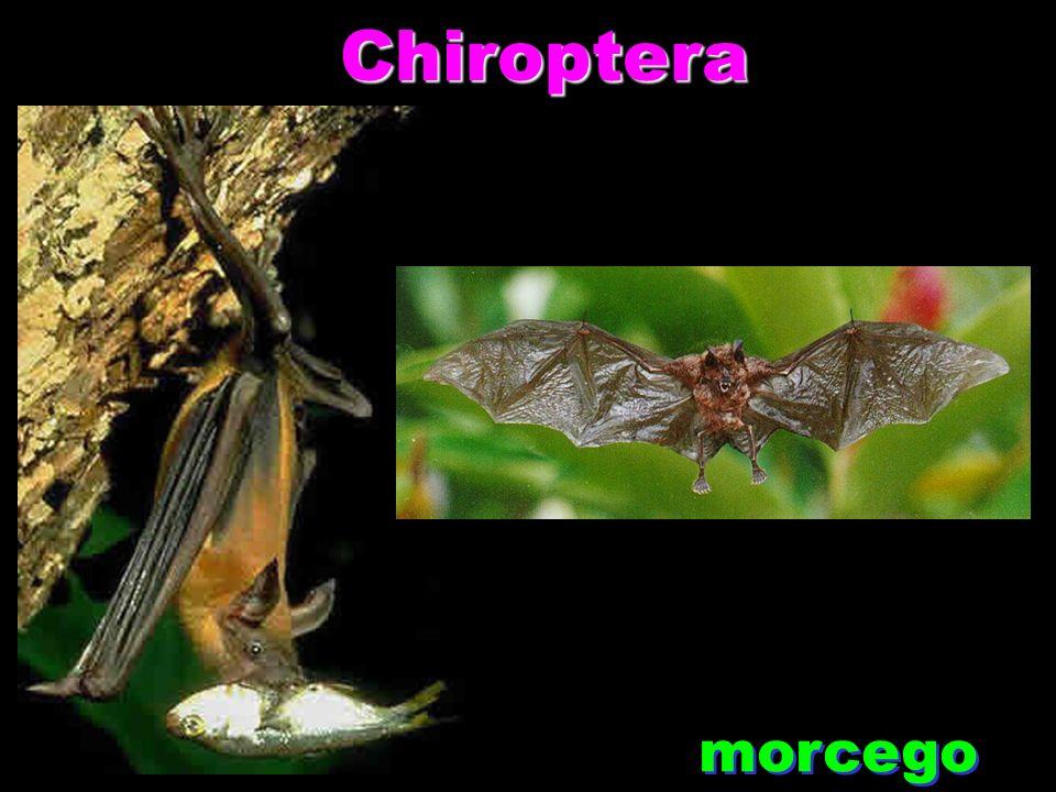 Chiroptera morcego