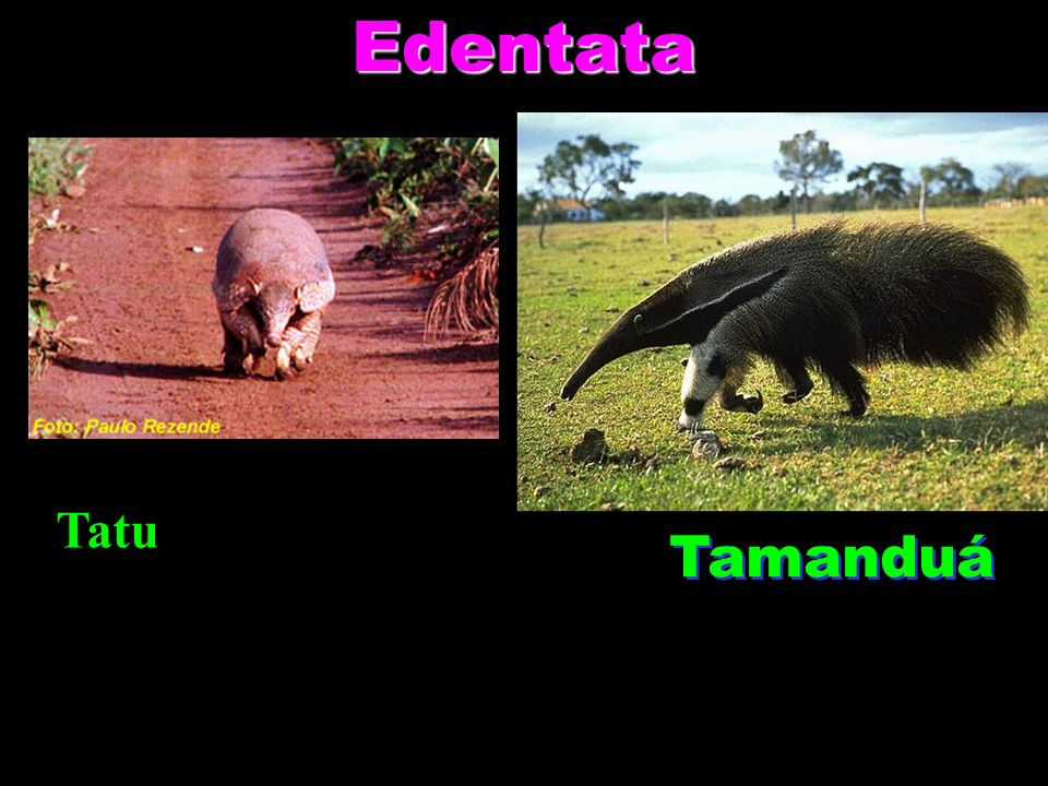 Edentata Tatu Tamanduá