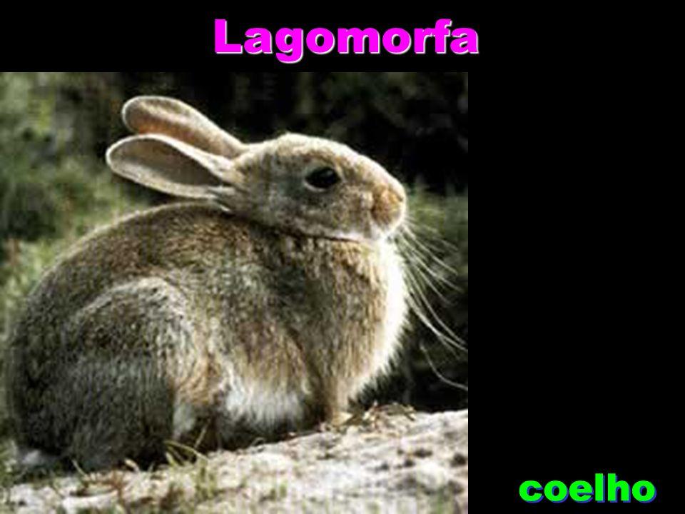 Lagomorfa coelho