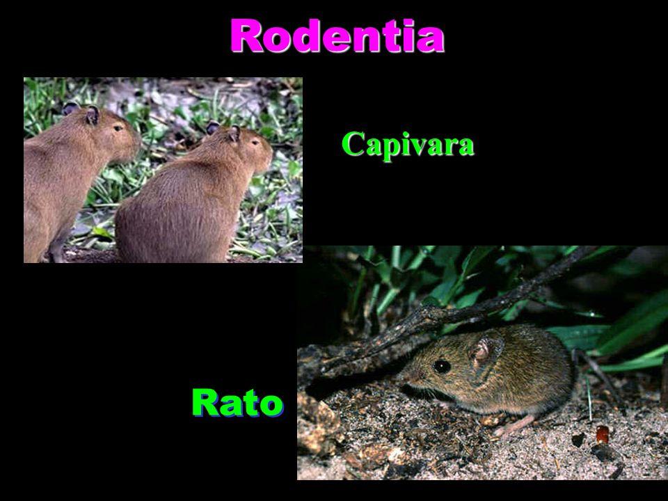 Rodentia Capivara Rato