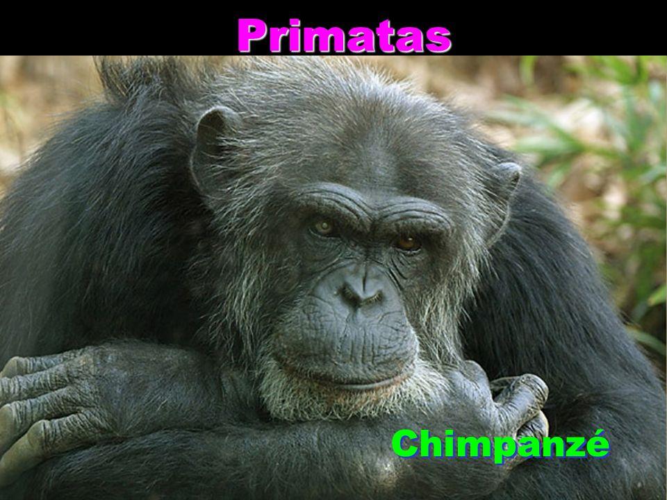 Primatas Chimpanzé