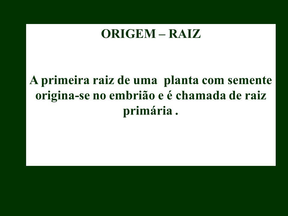 ORIGEM – RAIZ A primeira raiz de uma planta com semente origina-se no embrião e é chamada de raiz primária .