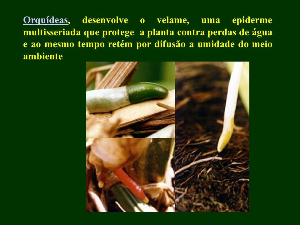 Orquídeas, desenvolve o velame, uma epiderme multisseriada que protege a planta contra perdas de água e ao mesmo tempo retém por difusão a umidade do meio ambiente