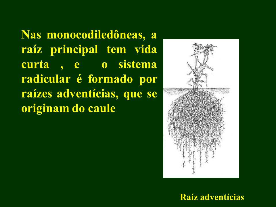 Nas monocodiledôneas, a raíz principal tem vida curta , e o sistema radicular é formado por raízes adventícias, que se originam do caule