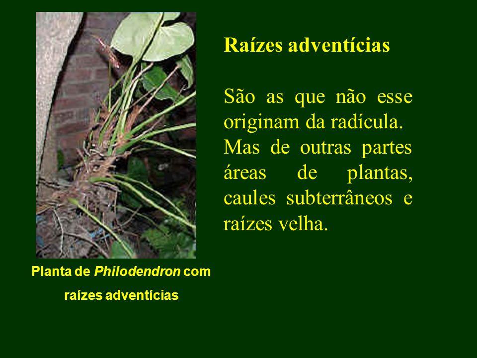 Planta de Philodendron com raízes adventícias