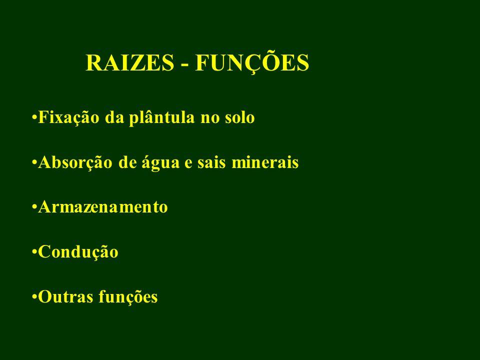 RAIZES - FUNÇÕES Fixação da plântula no solo