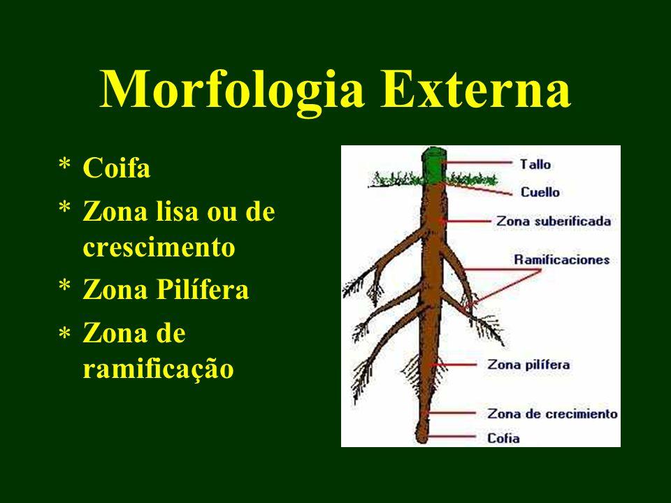 Morfologia Externa Coifa Zona lisa ou de crescimento Zona Pilífera