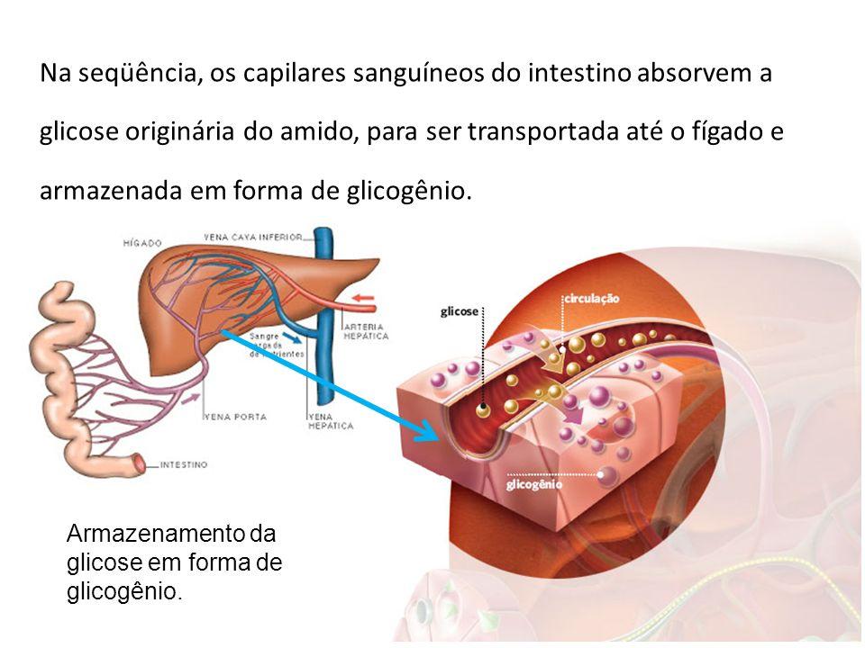 Na seqüência, os capilares sanguíneos do intestino absorvem a glicose originária do amido, para ser transportada até o fígado e armazenada em forma de glicogênio.