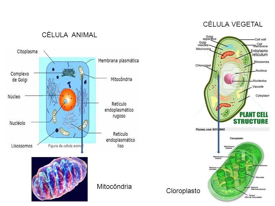 CÉLULA VEGETAL CÉLULA ANIMAL Mitocôndria Cloroplasto