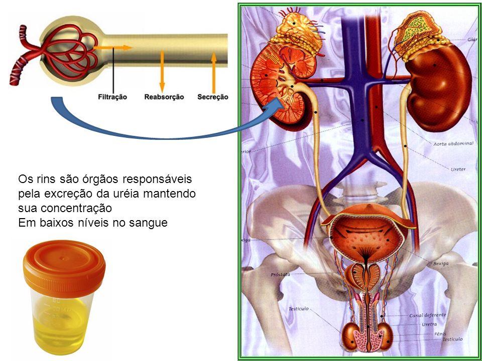 Os rins são órgãos responsáveis pela excreção da uréia mantendo sua concentração