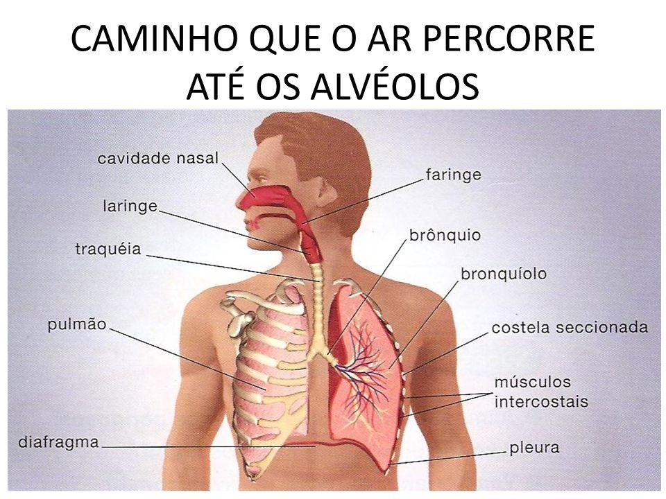 CAMINHO QUE O AR PERCORRE ATÉ OS ALVÉOLOS