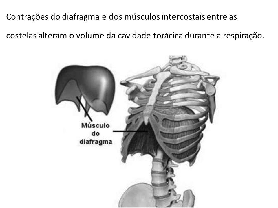 Contrações do diafragma e dos músculos intercostais entre as costelas alteram o volume da cavidade torácica durante a respiração.