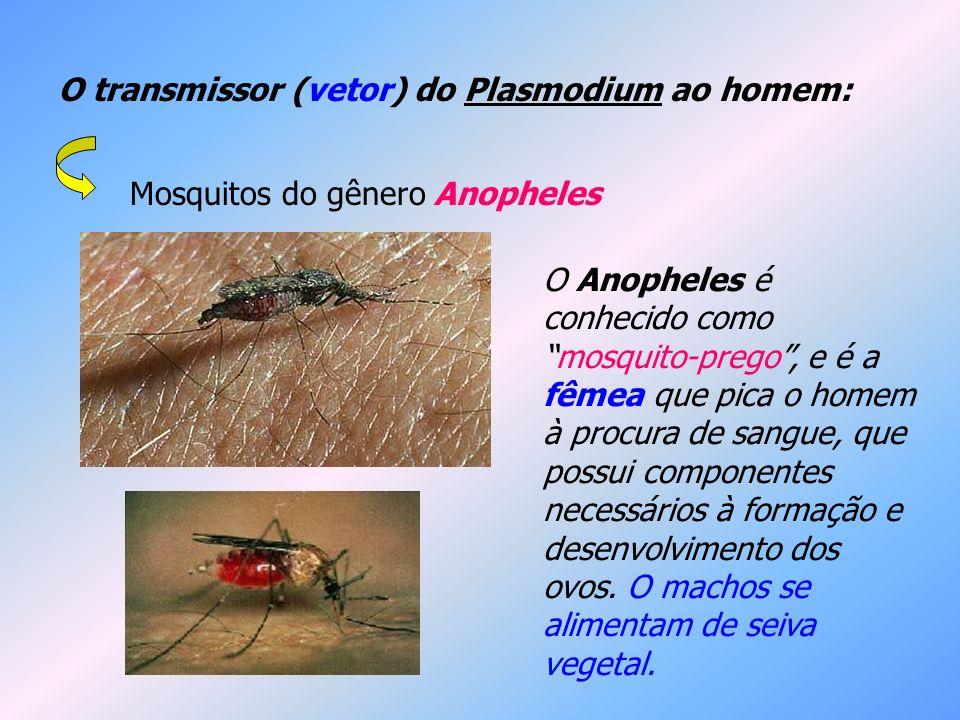 O transmissor (vetor) do Plasmodium ao homem: