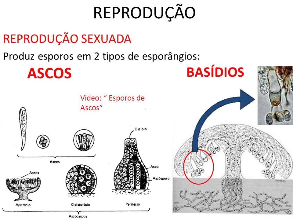 REPRODUÇÃO ASCOS BASÍDIOS REPRODUÇÃO SEXUADA