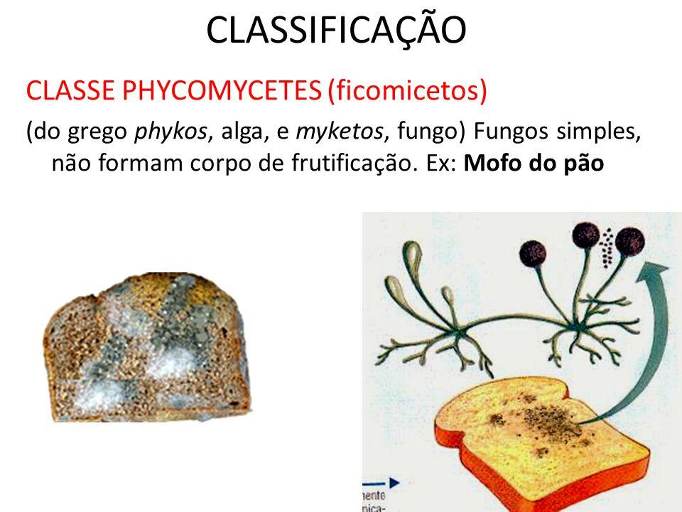CLASSIFICAÇÃO CLASSE PHYCOMYCETES (ficomicetos)