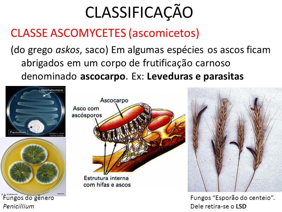 CLASSIFICAÇÃO CLASSE ASCOMYCETES (ascomicetos)