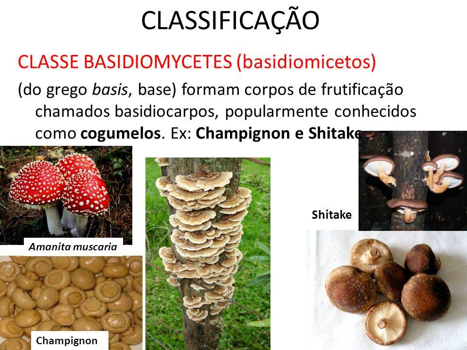 CLASSIFICAÇÃO CLASSE BASIDIOMYCETES (basidiomicetos)