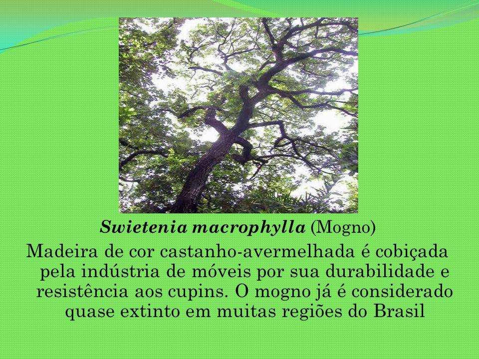 Swietenia macrophylla (Mogno)