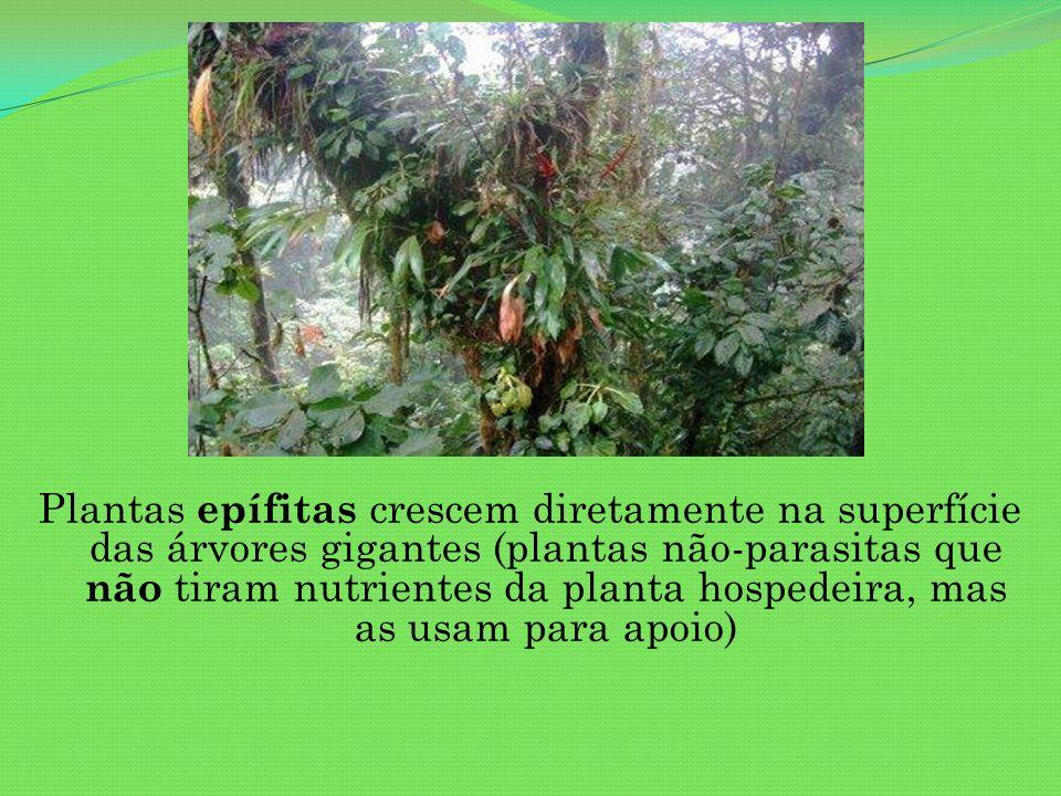 Plantas epífitas crescem diretamente na superfície das árvores gigantes (plantas não-parasitas que não tiram nutrientes da planta hospedeira, mas as usam para apoio)