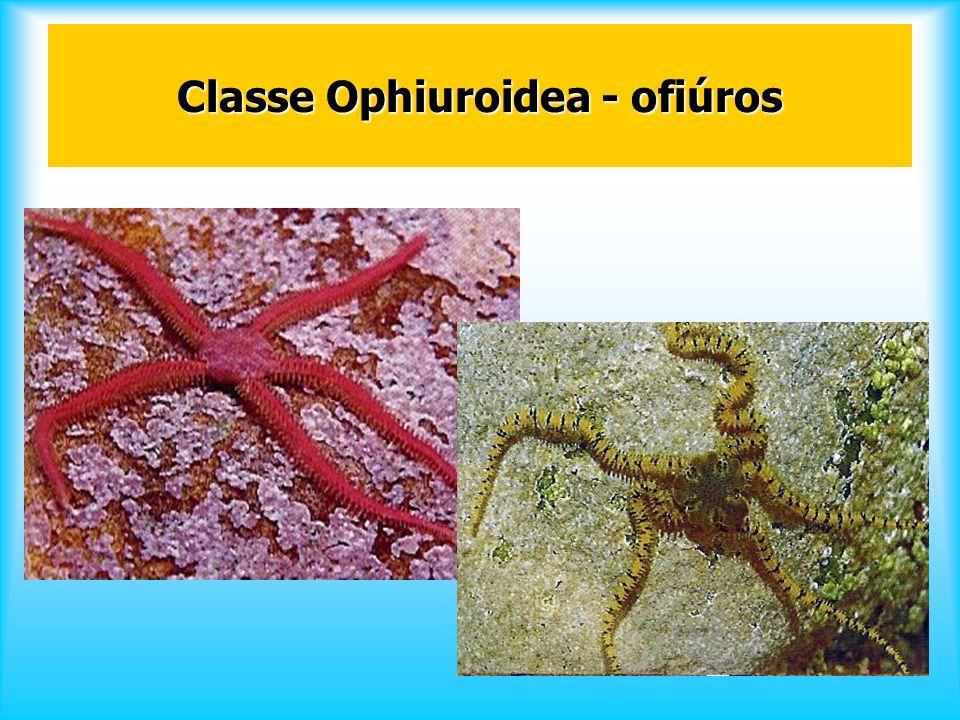 Classe Ophiuroidea - ofiúros