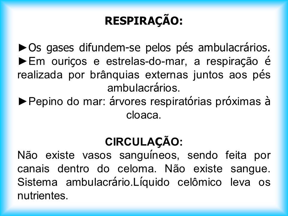 RESPIRAÇÃO: ►Os gases difundem-se pelos pés ambulacrários