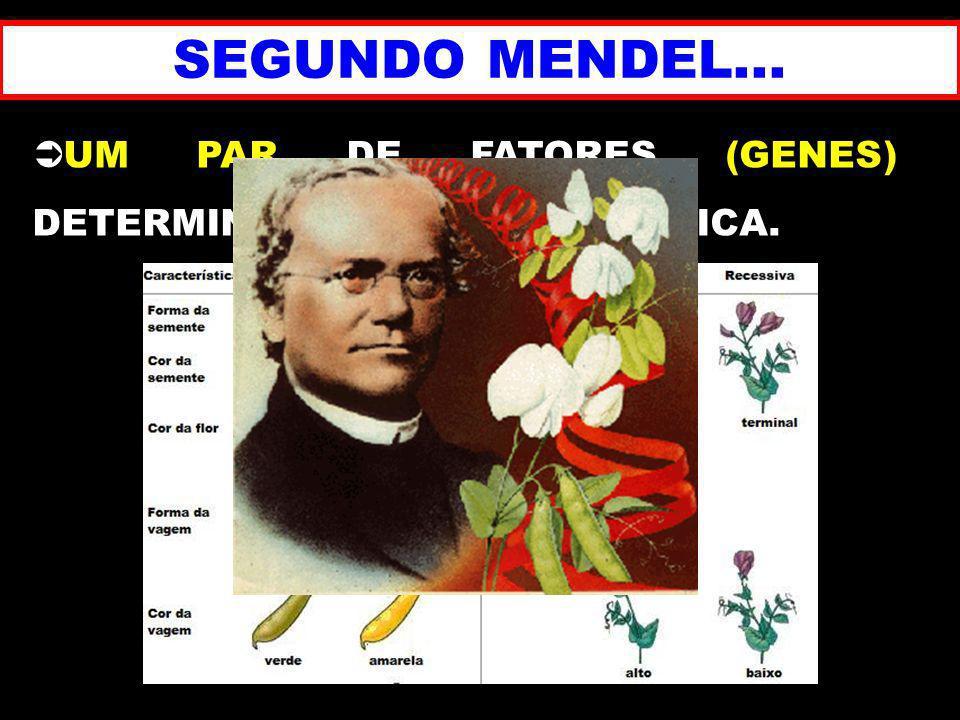 SEGUNDO MENDEL... UM PAR DE FATORES (GENES) DETERMINA UMA CARACTERÍSTICA.