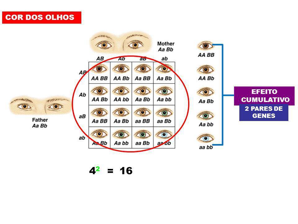 COR DOS OLHOS EFEITO CUMULATIVO 2 PARES DE GENES 42 = 16