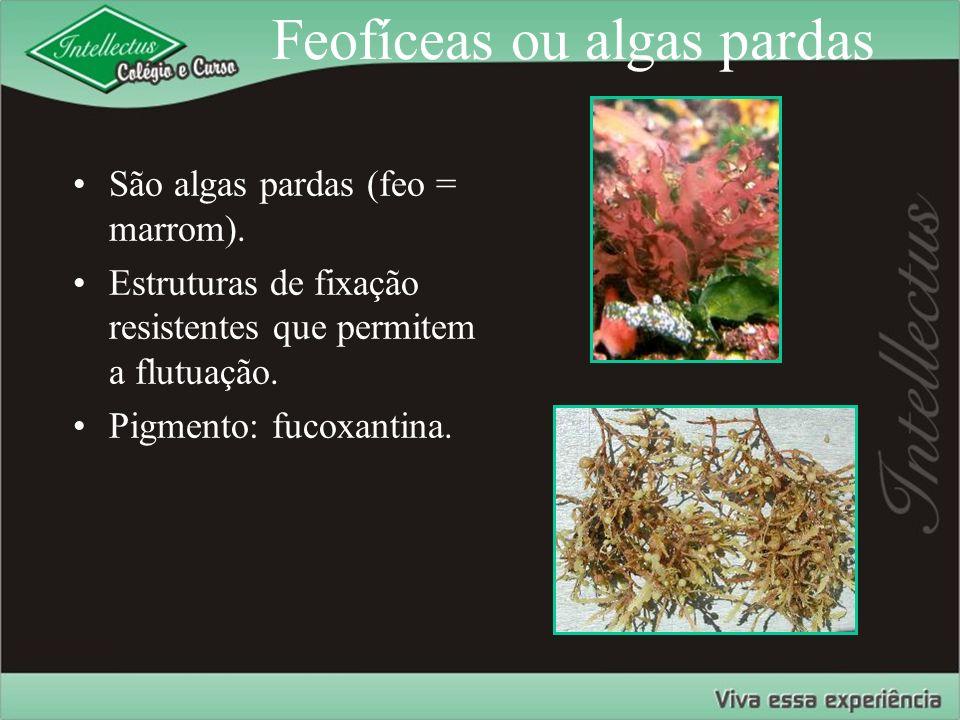 Feofíceas ou algas pardas
