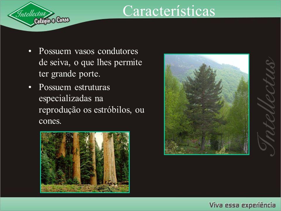 Características Possuem vasos condutores de seiva, o que lhes permite ter grande porte.