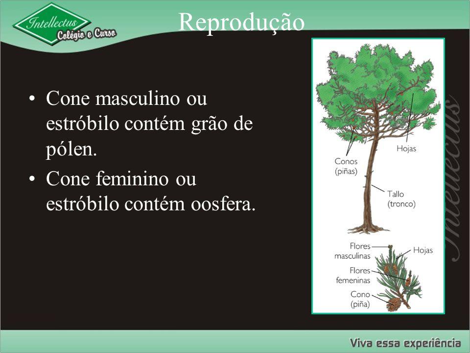 Reprodução Cone masculino ou estróbilo contém grão de pólen.