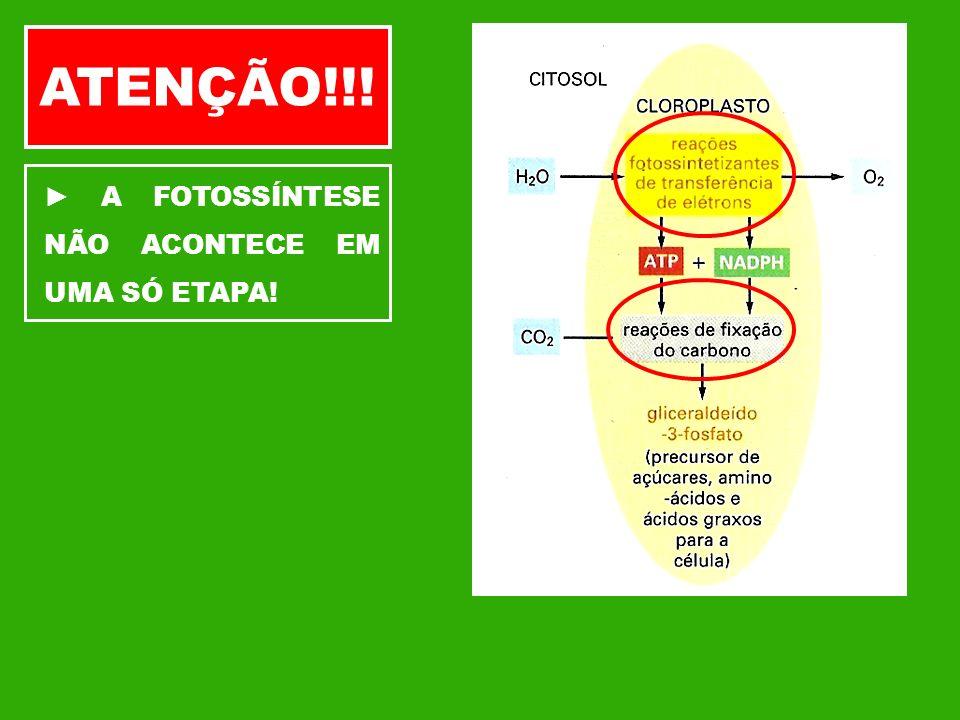 ATENÇÃO!!! ► A FOTOSSÍNTESE NÃO ACONTECE EM UMA SÓ ETAPA!