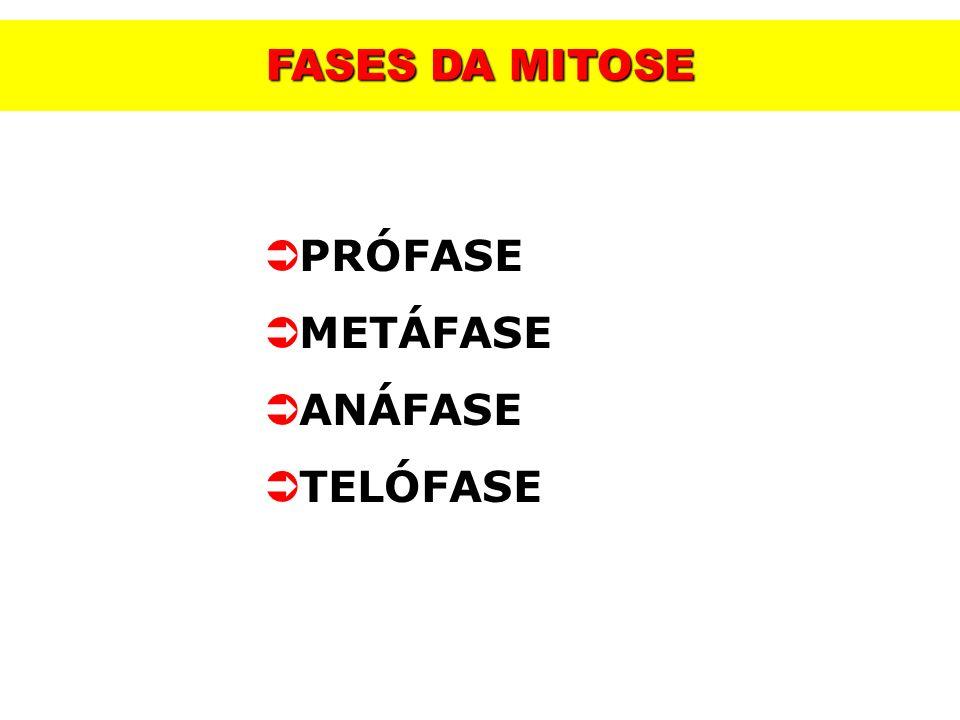 FASES DA MITOSE PRÓFASE METÁFASE ANÁFASE TELÓFASE