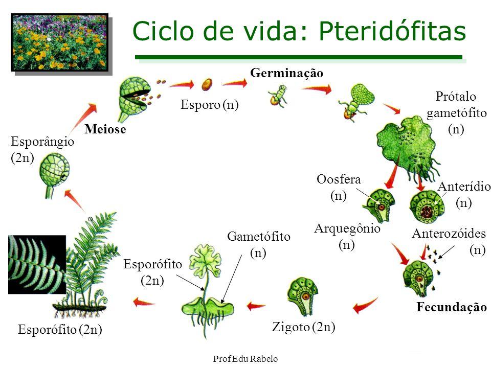 Ciclo de vida: Pteridófitas