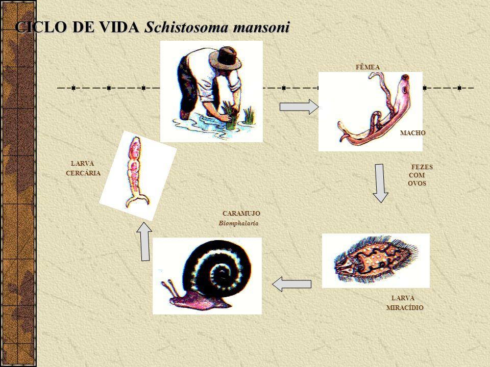 CICLO DE VIDA Schistosoma mansoni