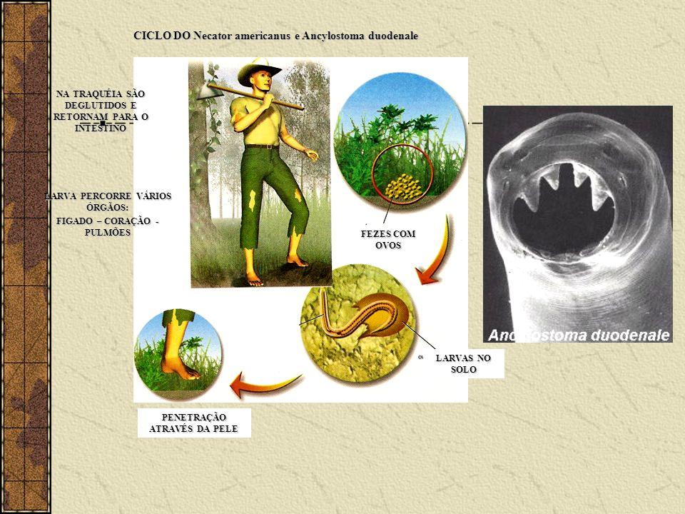 CICLO DO Necator americanus e Ancylostoma duodenale
