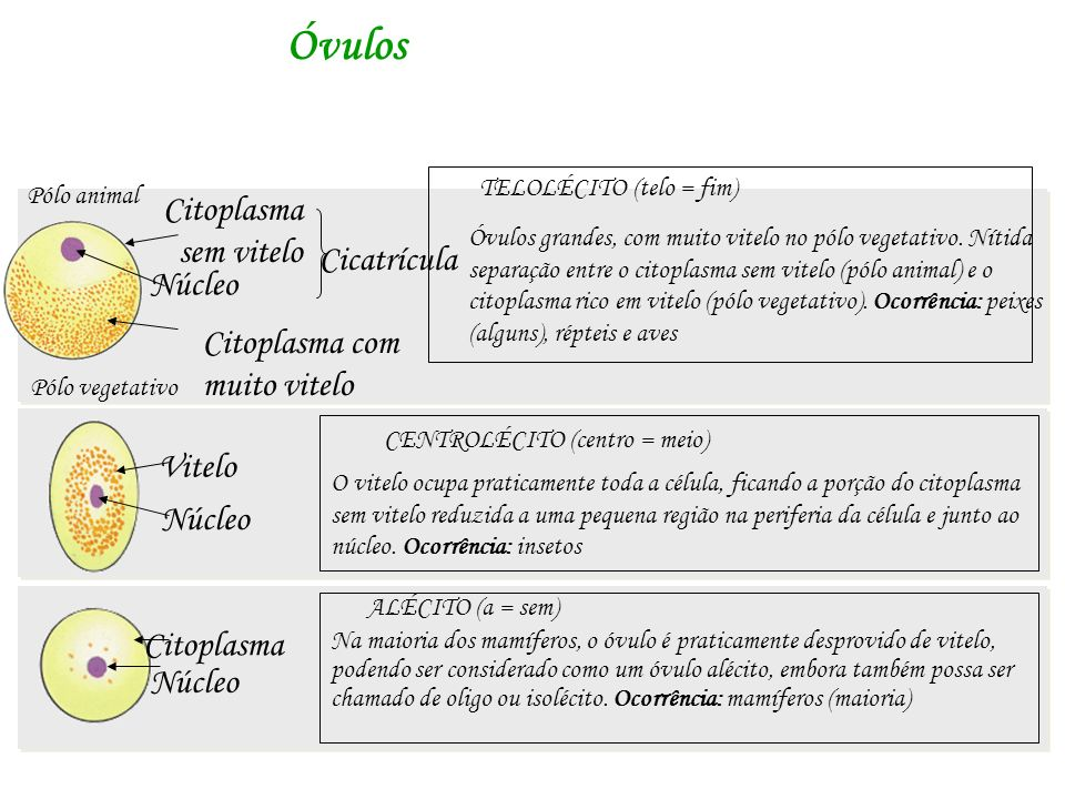 Óvulos Citoplasma sem vitelo Cicatrícula Núcleo
