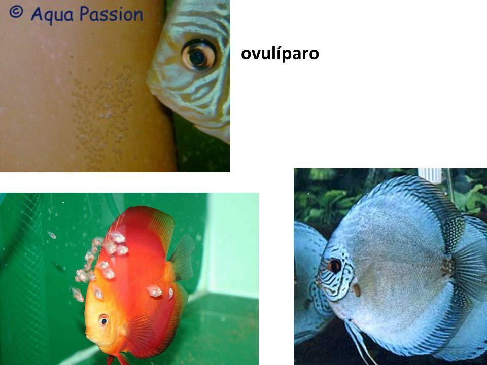 ovulíparo