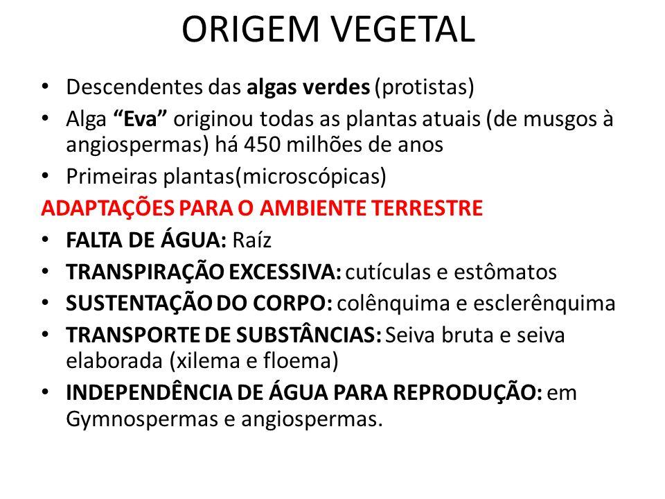 ORIGEM VEGETAL Descendentes das algas verdes (protistas)