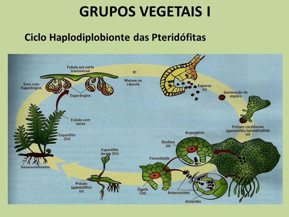 GRUPOS VEGETAIS I Ciclo Haplodiplobionte das Pteridófitas