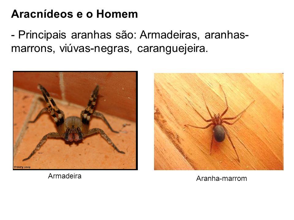 Aracnídeos e o Homem Principais aranhas são: Armadeiras, aranhas-marrons, viúvas-negras, caranguejeira.