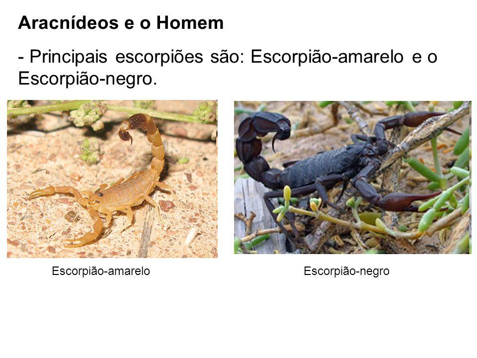 Principais escorpiões são: Escorpião-amarelo e o Escorpião-negro.