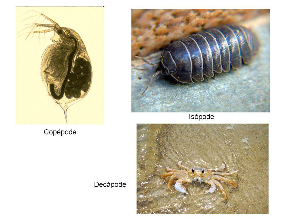 Isópode Copépode Decápode