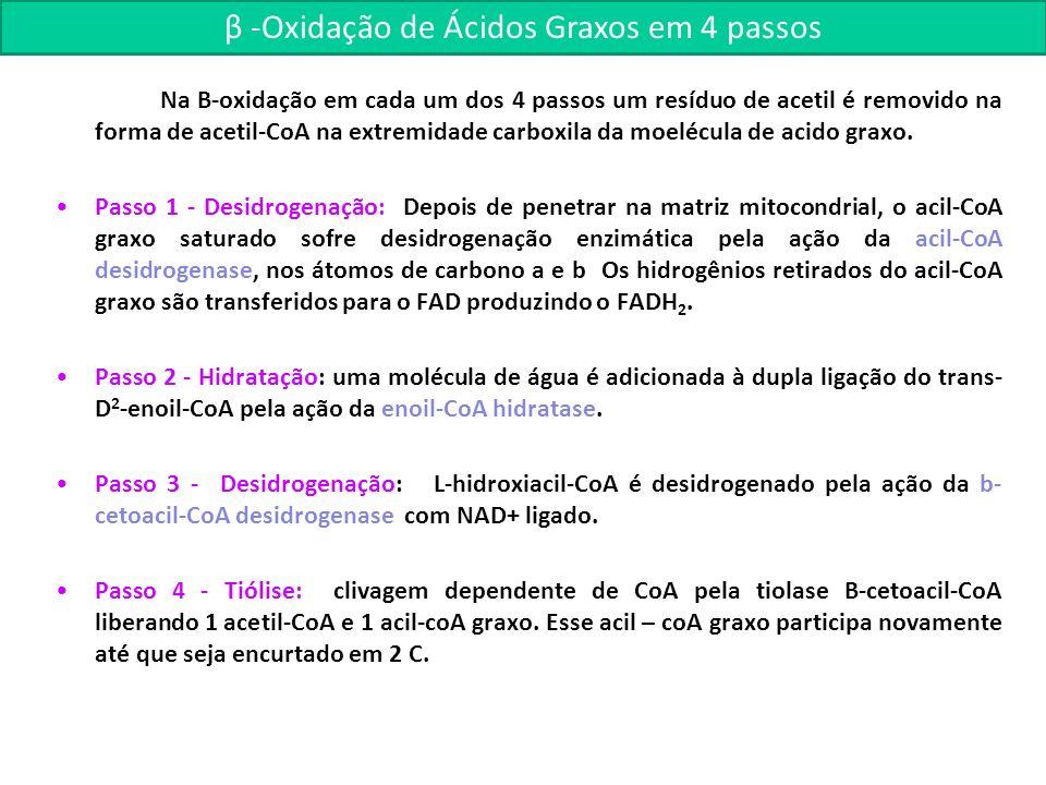 β -Oxidação de Ácidos Graxos em 4 passos