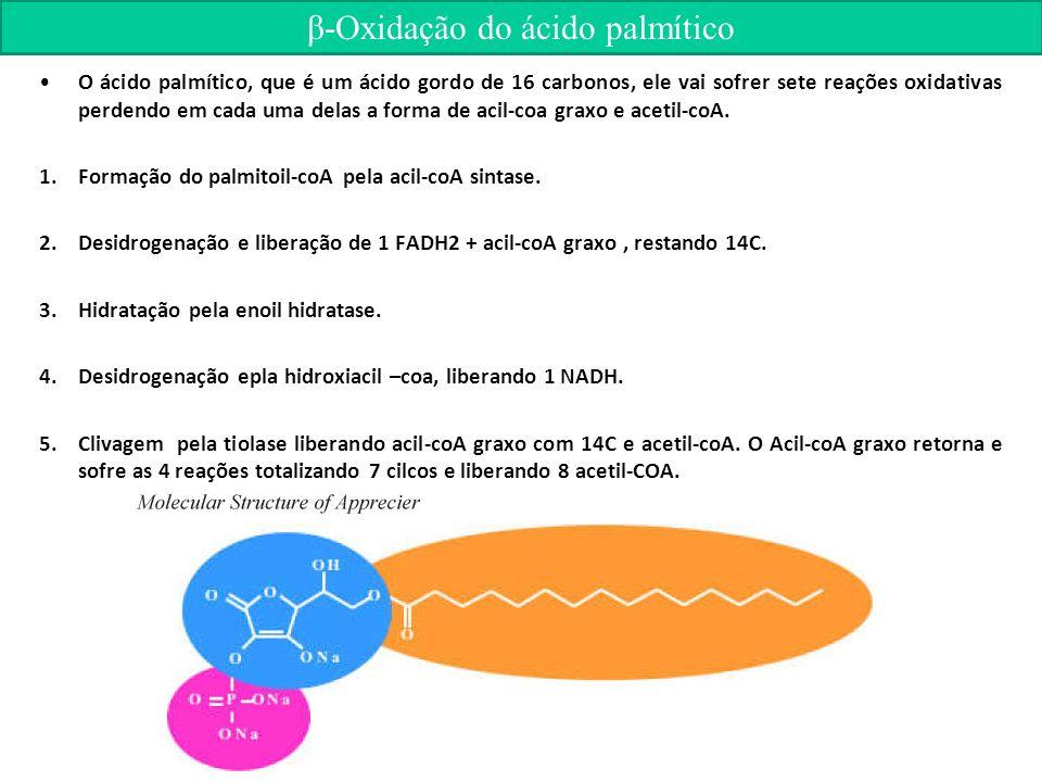β-Oxidação do ácido palmítico