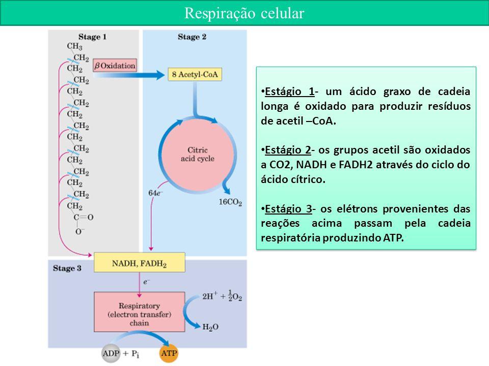 Respiração celular Estágio 1- um ácido graxo de cadeia longa é oxidado para produzir resíduos de acetil –CoA.