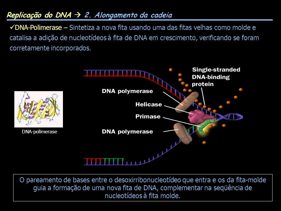 Replicação do DNA  2. Alongamento da cadeia