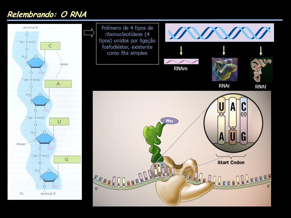 Relembrando: O RNA Polímero de 4 tipos de ribonucleotídeos (4 tipos) unidos por ligação fosfodiéster, existente como fita simples.