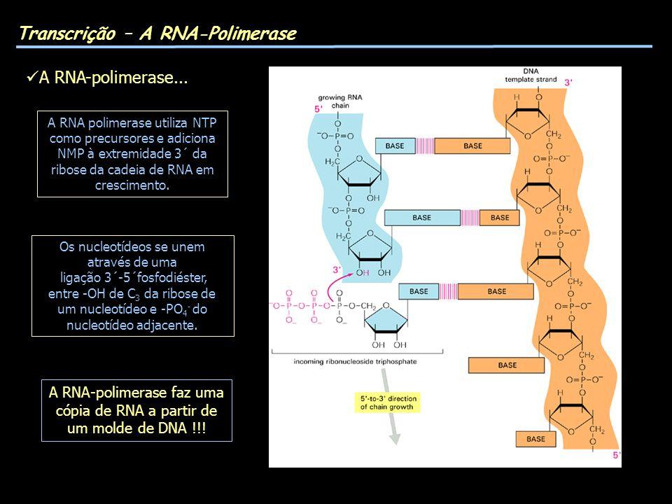 A RNA-polimerase faz uma cópia de RNA a partir de um molde de DNA !!!